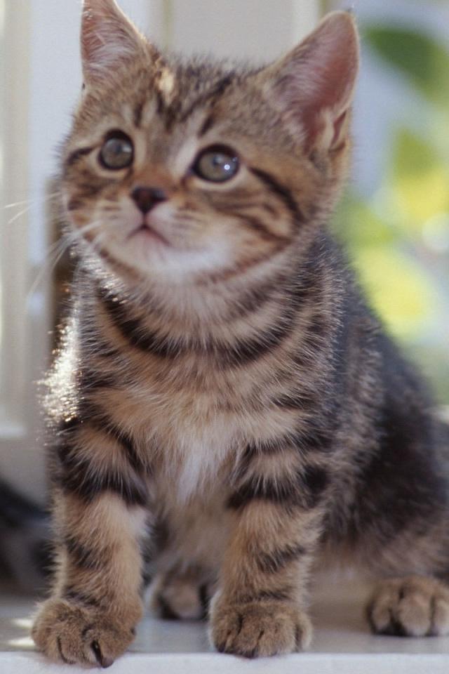 Tabby Kittens Iphone 4s Wallpaper Ilikewallpaper Com